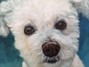 white bichon, dog painting